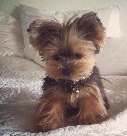 This will be my next Lil Buddy that I add to my gang of Momma's B Babies. I will name him or her Bellow and or BellA'.