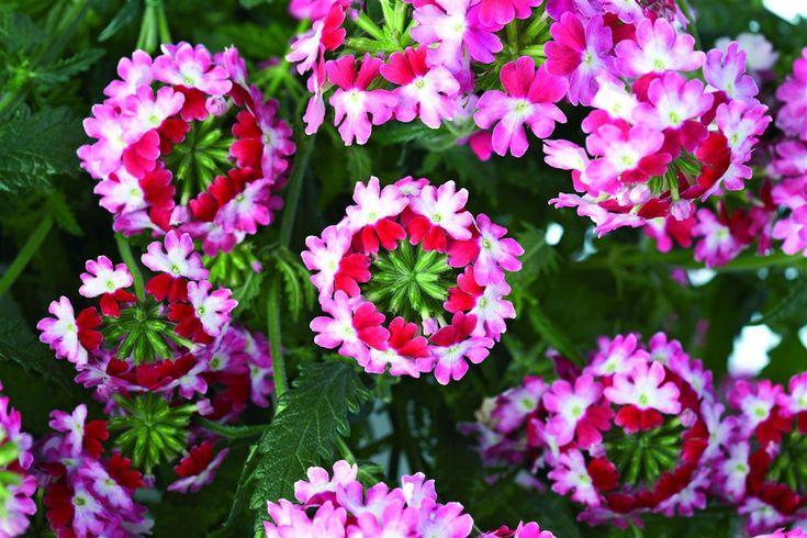 características y cultivo de la verbena | botánica, del sur y plantas