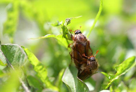 Los insectos y la reproducción