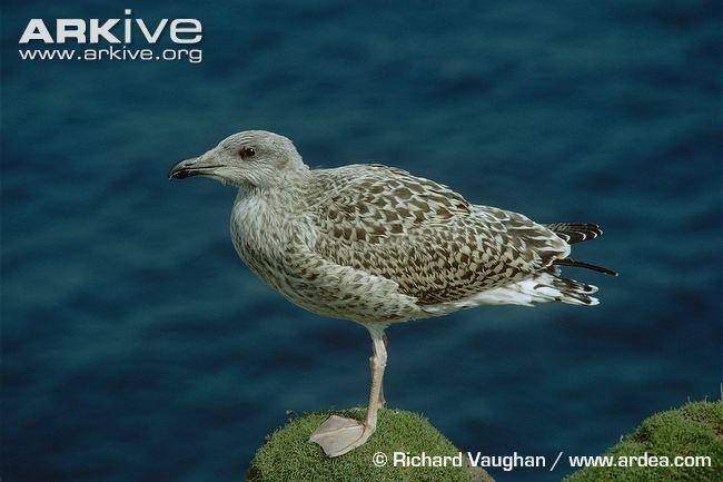 Great black-backed gull photo - Larus marinus - G88576 | ARKive