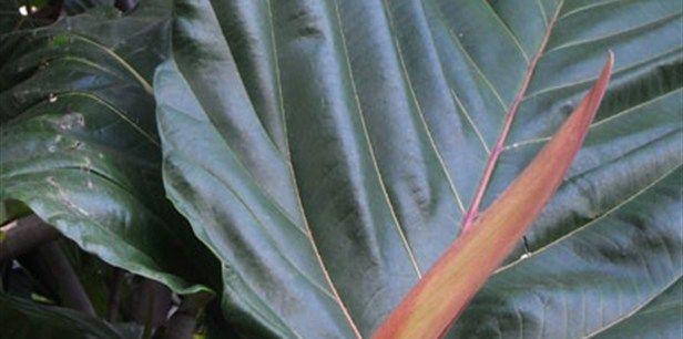 Ficus  dammaropsis