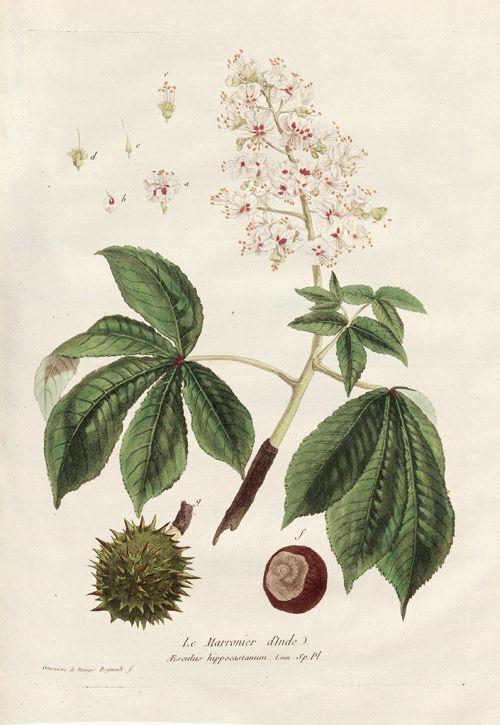 Regnault, Nicolas François & Geneviève de Nangis Regnault. La Botanique mise a la portée de tout le Monde, 1770-80. Kastanien, Maronier,
