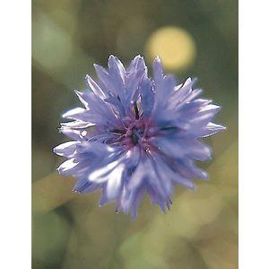 ElixirBleuet(Centaureacyanus)