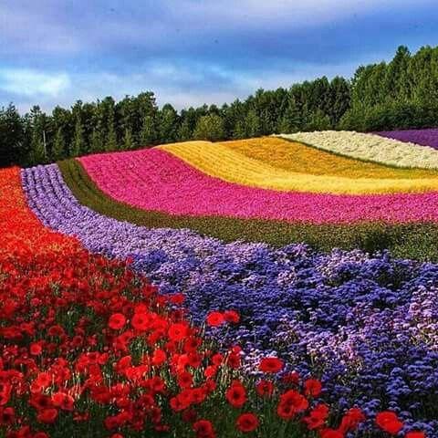 Campos de flores de Furano, Hokkaido, Japón, una ciudad conocida por sus magníficos paisajes naturales.   'rosbs'