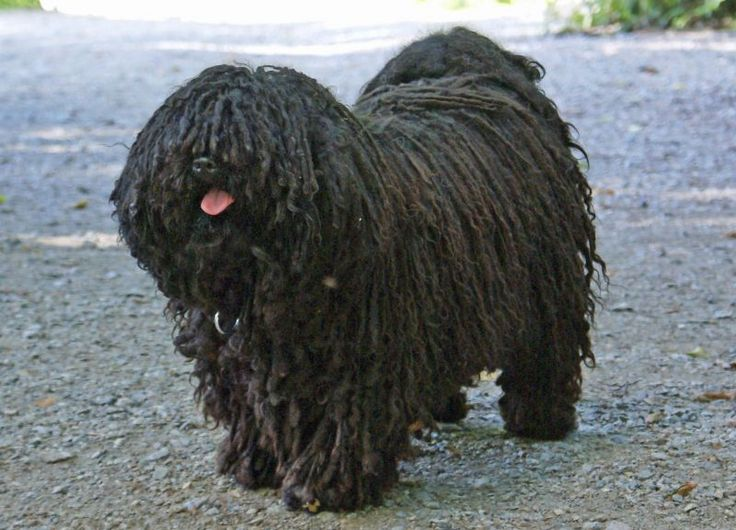 The 37 Smartest Dog Breeds: Tier: Above Average Working Dogs; Puli (isn't he cute?)