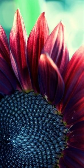 beautiful red sunflower