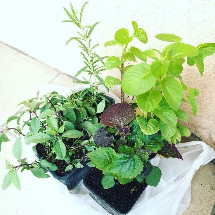 Beautiful organic herbs at La Croix-Rousse en Fleurs I got a rosemary Thai basil  Shiso and chocolate mint.  地元の花祭りでオーガニックのローズマリータイバジル紫蘇チョコミントを買ってきました #ベランダ菜園 #ハーブガーデン #有機野菜 #オーガニック #ローズマリー #タイバジル #紫蘇 #チョコミント #グリーン #ハーブのある暮らし #croixrousseenfleurs #croixrousse #herbe #bio #petitpotager #romarin #basilicthai #shiso #menthechocolat #simplelife #organic #herb #green #plantbasedlife #minimalist #rosemary #thaibasil #chocomint #herballife