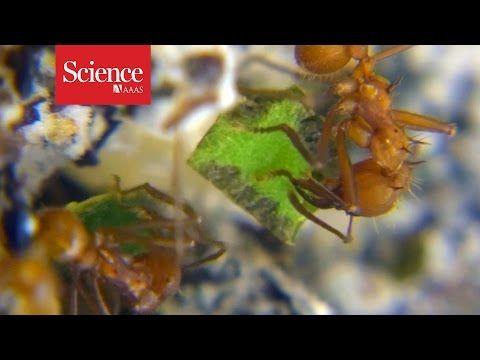 Leafcutter ants use prehensile legs to help chop up leaves | Science | AAAS
