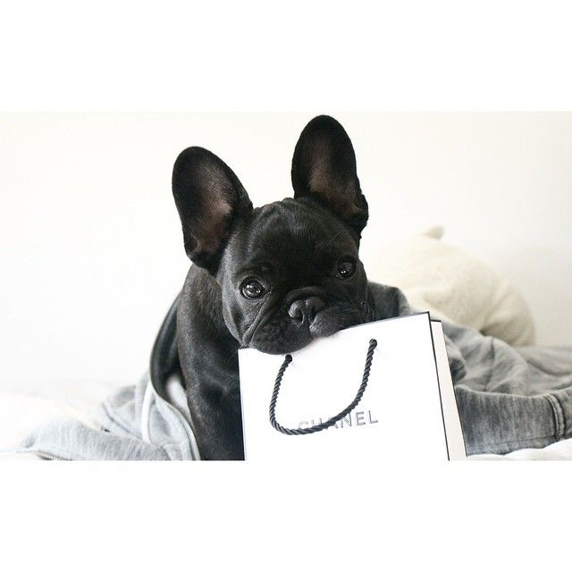 frenchie + chanel