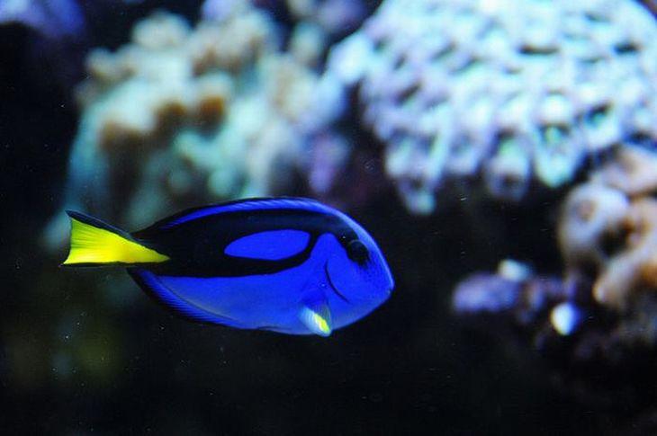 """Cirurgião-Patela. Um peixe azul vibrante com uma cauda amarela, que ficou famoso por meio da personagem """"Dory"""", dos filmes """"Procurando Nemo"""" e """"Procurando Dory""""."""