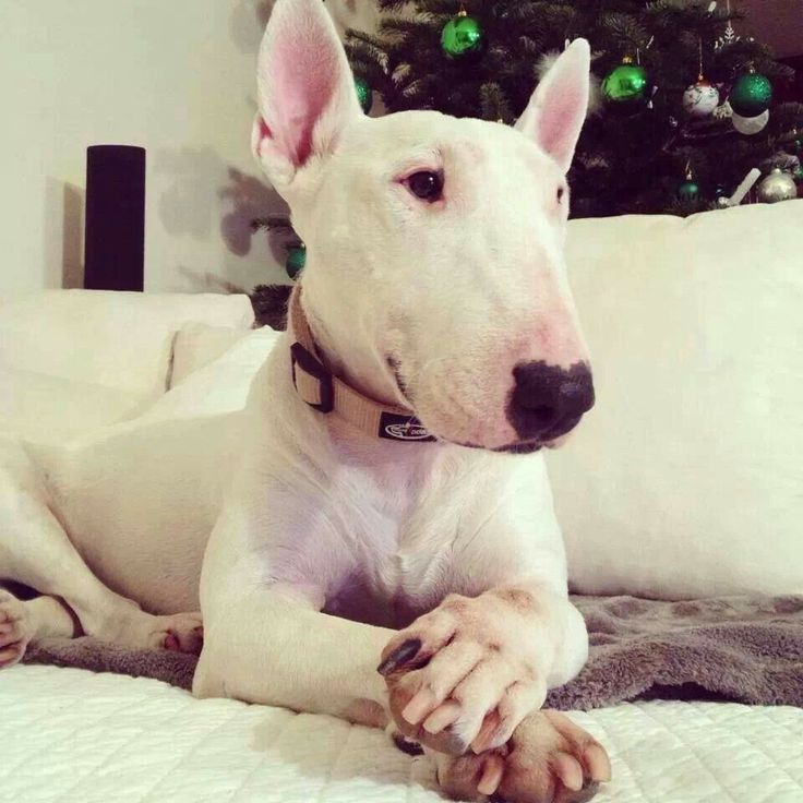 White Dogs With Big Noses