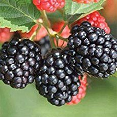 "How To Grow Blackberry Bushes - here are my tips on growing blackberry bushes based on my experience with blackberry bush plants in US hardiness zone 6a. Blackberries are the original ""living fence"". Around for over 2000 years, blackberry brambles were allowed to grow to thickets to repel..."