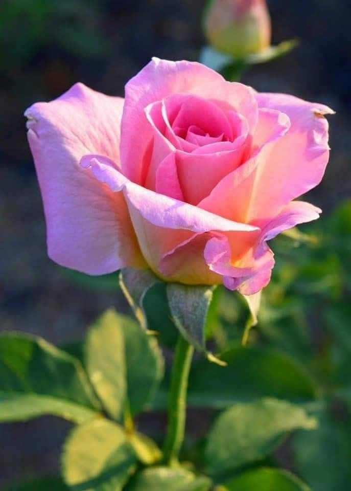 Pin By Monique H On Rozen Rose Flower Pictures Hybrid Tea Roses Beautiful Pink Flowers
