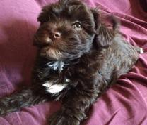Havanese Puppies For Sale - Chocolate Havanese Puppies
