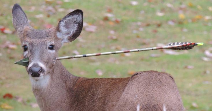 Susan Darrah, uma artista culinária de Rockaway, em Nova Jersey, nos EUA, fotografou este veado com uma flecha atravessada em sua cabeça. Segundo ela, o animal consegue comer normalmente, não há sinais de sangue e ele parece não sentir dor. No último final de semana, ela chamou a divisão de pesca e vida selvagem do Estado para cuidar do animal