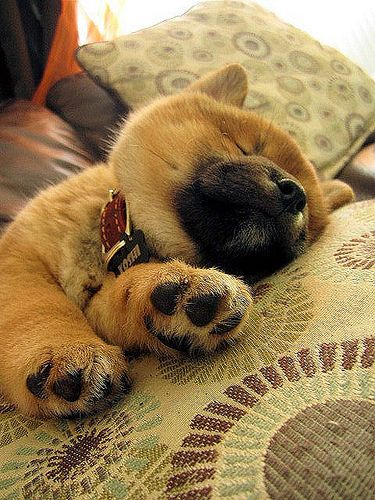 fyeahshibainu: Zzz … by natl1046  Petit: An early night for me and yes, I am just this cute as I sleep. G'night, good people of Tumblrstonia ♥ sweetest dreams