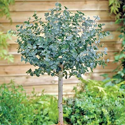 Cider Gum Eucalyptus Eucalyptus gunnii Fragrant foliage! The beautiful silvery-blue foliage has a wonderful aromatic scent that makes it a special addition to the patio or home as a container plant. The foliage can also be used in wreaths and arrangements where it mixes well with fresh or dried flowers. Grows 24-26'' tall and can be... More details