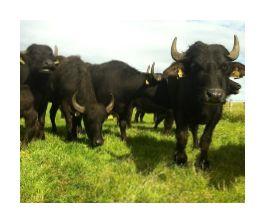 On the farm at Orkney Buffalo
