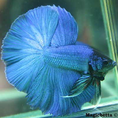 442 best beautiful bettas fantastic fish images on for Betta fish care water