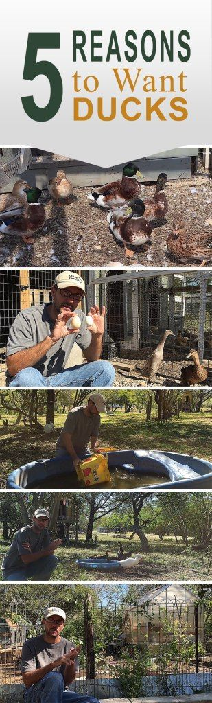 5 Reasons to Want Ducks - We love our chickens, but the ducks have a special place in our heats and on the Daddykirbs Farm.