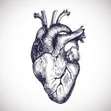 ilustracion del organo corazon - Buscar con Google