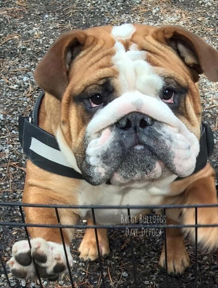 The Many Things We Admire About The Bulldog Pup Bulldogswag