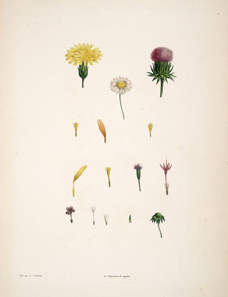 gravures botanique Rousseau - gravures botanique Rousseau - 189 fleurs composees - Gravures, illustrations, dessins, images