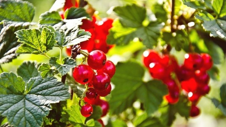 Red Currants Wallpaper
