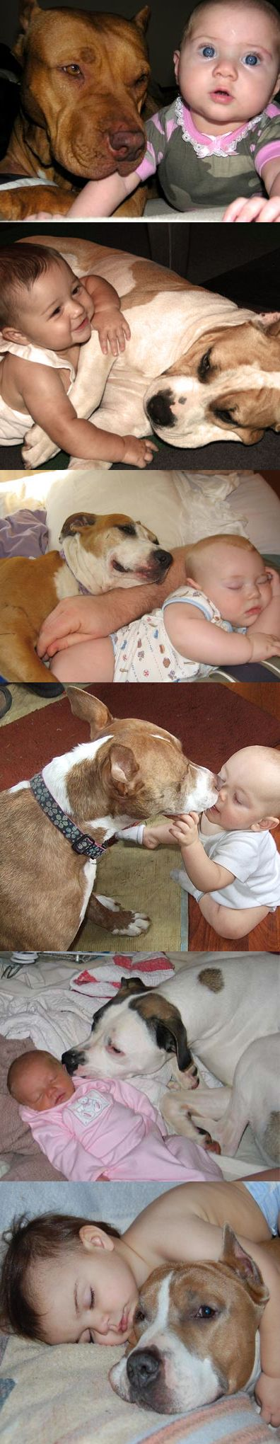Pit bulls are clearly vicious creatures.      A loyal protector and friend.
