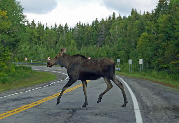 Moose Crossing at Forillon National Park on Gaspe Peninsula
