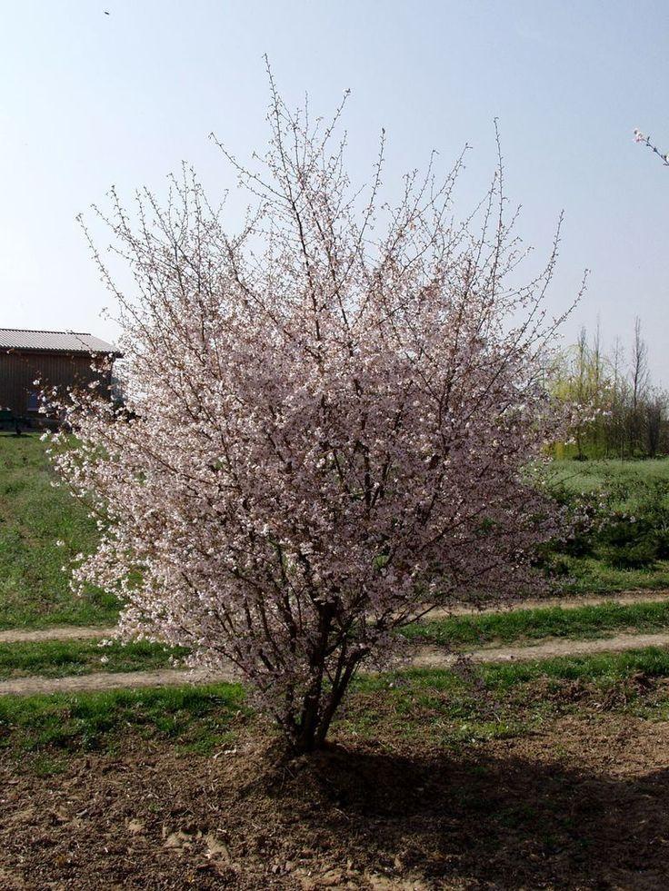 Prunus subhirtella 'Autumnalis Rosea' leuke bloesemboom voor in achtertuin, bloeit in zachte winter de hele winter door met enkele bloemetjes, hoofdbloei in april