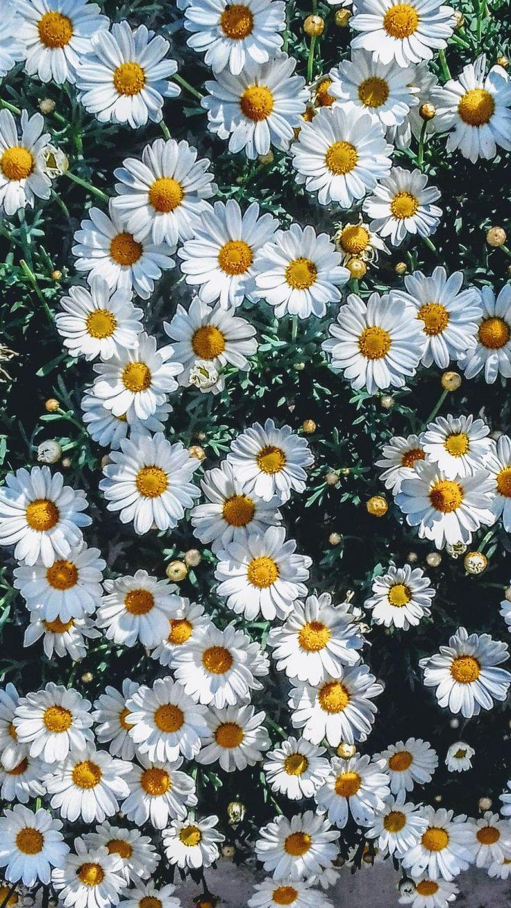 Sunflower Wallpaper Vintage Hd
