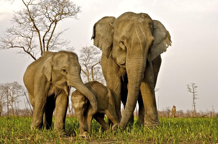 Wild Indian elephants in Kaziranga National Park