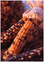 """October 20, 2013 (San Diego) The 12th District Judge for Civil Matters in Mexico City has ordered no further commercial distribution of genetically modified (GMO) corn for the moment. The Judicial order temporarily prohibits """"the suspension of permits, release and pilot field studies and commercialization of transgenic corn."""""""