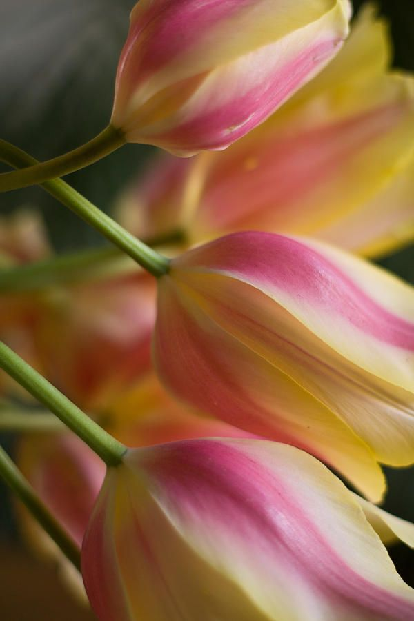 ~~Light Of Spring ~ softly lit tulips by Mike Reid~~