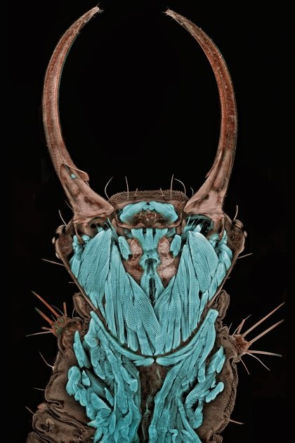 wow. magnified image of green lacewing larva.