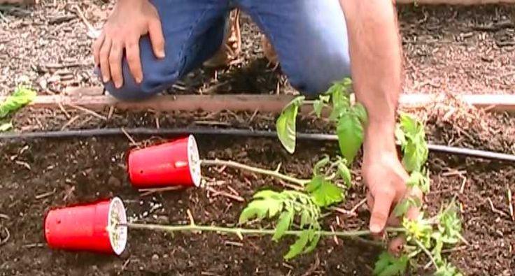 1. Zamiast sadzić pomidory pionowo, ułóżcie je jak na zdjęciu, bokiem, tak,...