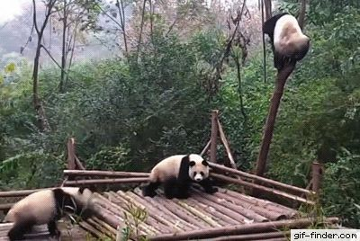 This is why pandas are endangered