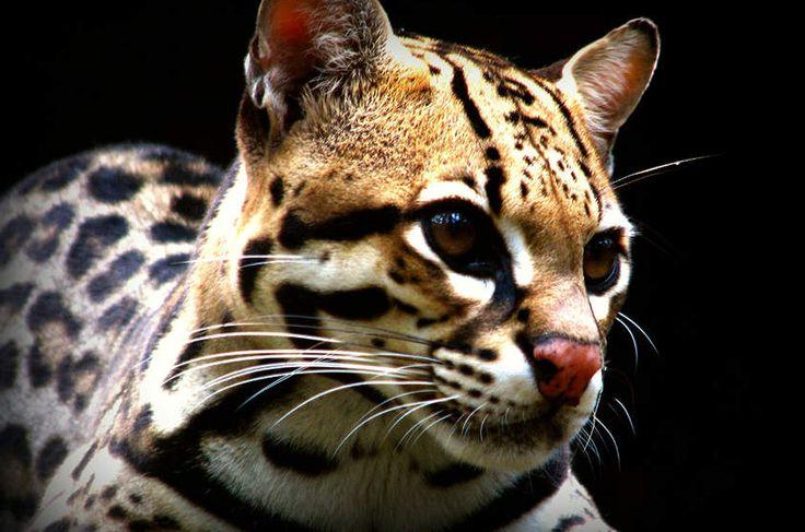 Jaguatirica (Leopardus pardalis)  A jaguatirica é um felino generalista. Pode ser encontrada em planícies alagáveis, como o Pantanal, em densas florestas, como a Amazônia ou ambientes mais secos, como o Cerrado. Em sua dieta estão pequenos mamíferos, répteis, anfíbios e peixes. Apesar de não estar ameaçada de extinção, são caçadas por sua pele e compradas como animais de estimação.