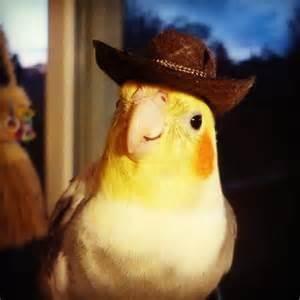 Cockatiel - Paradise of birds