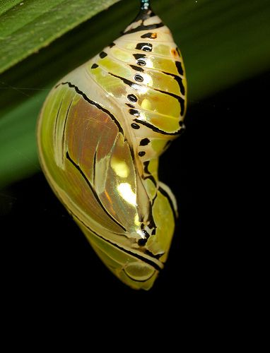 Butterfly chrysalis <3