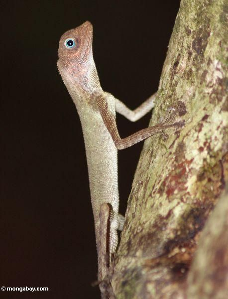 Blue-eyed lizard in Malaysian rainforest (Taman Negara National Park in Malaysia) - Rhett A. Butler