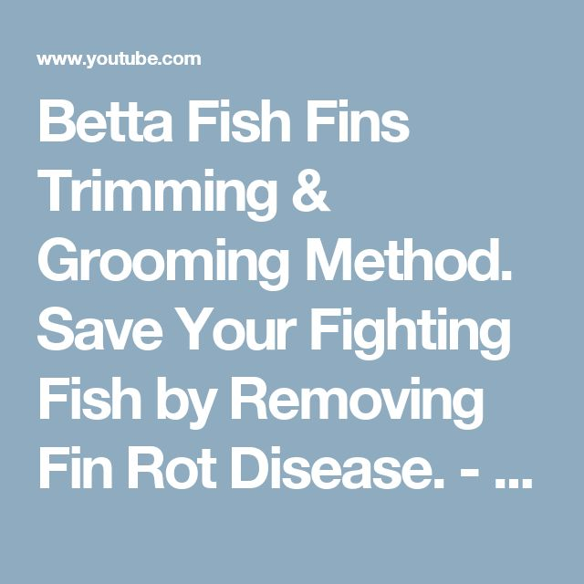 Betta Fish Fins Trimming & Grooming Method. Save Your Fighting Fish by Removing Fin Rot Disease. - YouTube