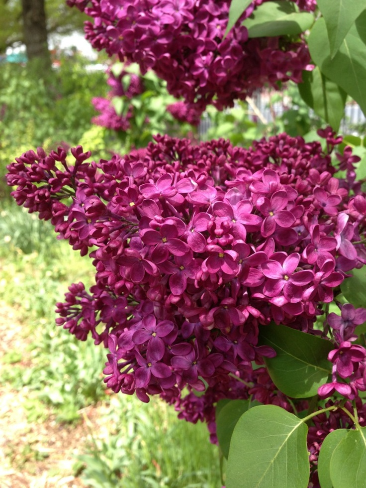 Lilacs in peak bloom.