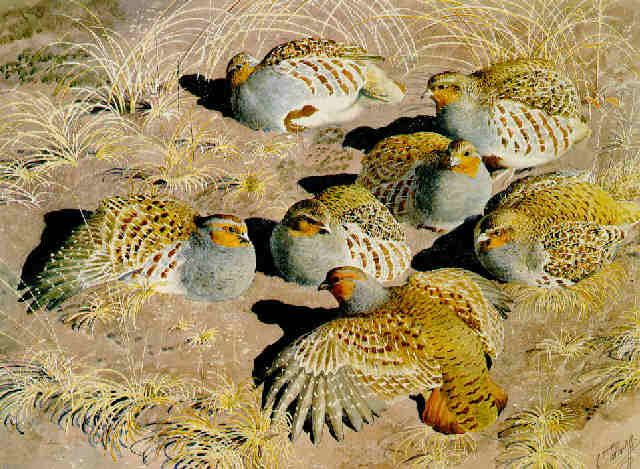 Common Partridge