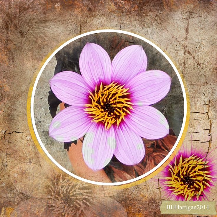 Dahlia from my garden with a blended background. #Daisytrail #CraftArtist #Serif #a_sunset_scrap
