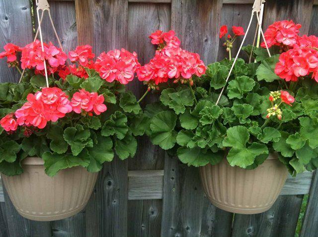 Los geranios se pueden cultivar también en cestas o macetas colgantes sin ningún problema. Prefieren un lugar bien soleado y contar con buen drenaje para evitar problemas con la humedad.