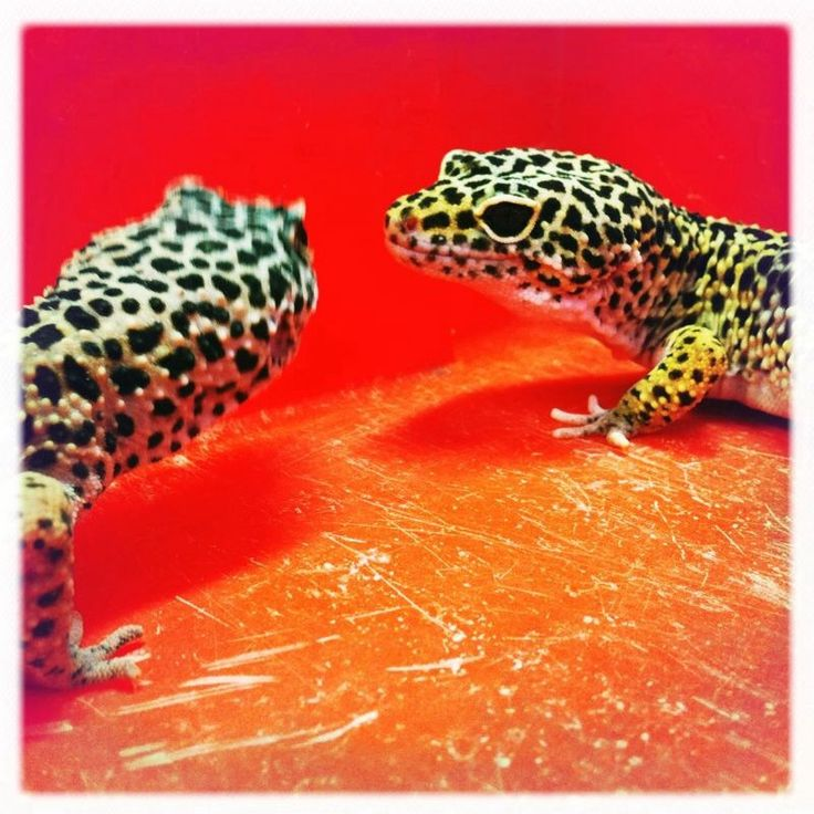 Luipaardgekko's