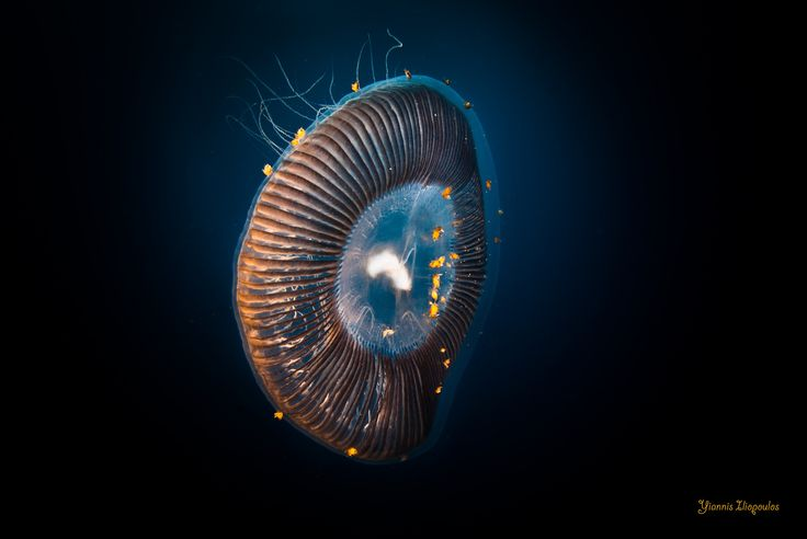 Aequorea forskalea   Aequorea forskalea Underwater Photography by Yiannis Iliopoulos