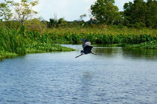 Airboat adventures, Lafitte swamp Louisiana